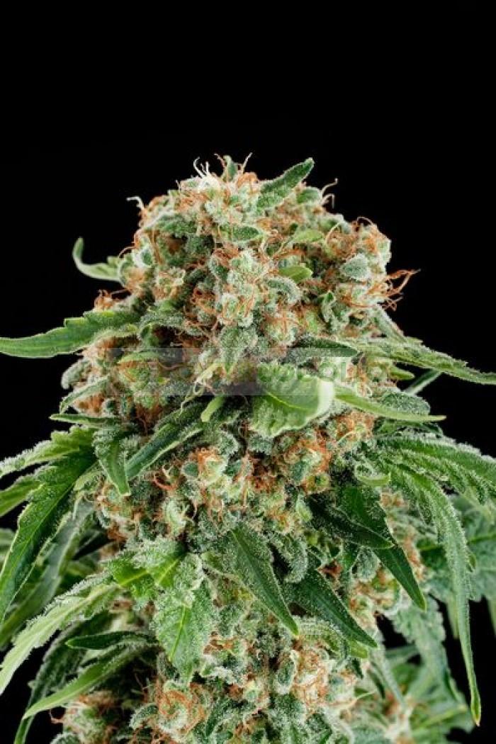 Semilla de marihuana White Siberian Feminizada