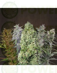 Ace Mix (Ace Seeds) Semillas Regulares