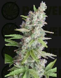 Akauto (SeedMakers) SEmilla Feminizada Autofloreciente Cannabis,