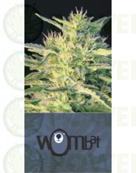 Wombat (Blim Burn Seeds) Feminizada   Wombat (Blim Burn Seeds) Feminizada Variedad resultante del cruce de una de nuestras Sativas seleccionadas, con una de nuestras indicas de sabor más dulce.   Debido a su gran poder de crecimiento es posible ponerlas a