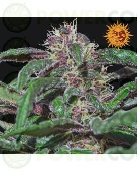 ayahuasca purple feminizada, barney´s farm, morada, masterkush