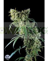 Super Silver (Dinafem Seeds)