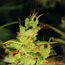 2046 (Medical Seeds) Semilla Feminzada Marihuana Sátiva 100% 0