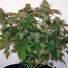 8 Ball Kush (Barney´s Farm Seeds) 0