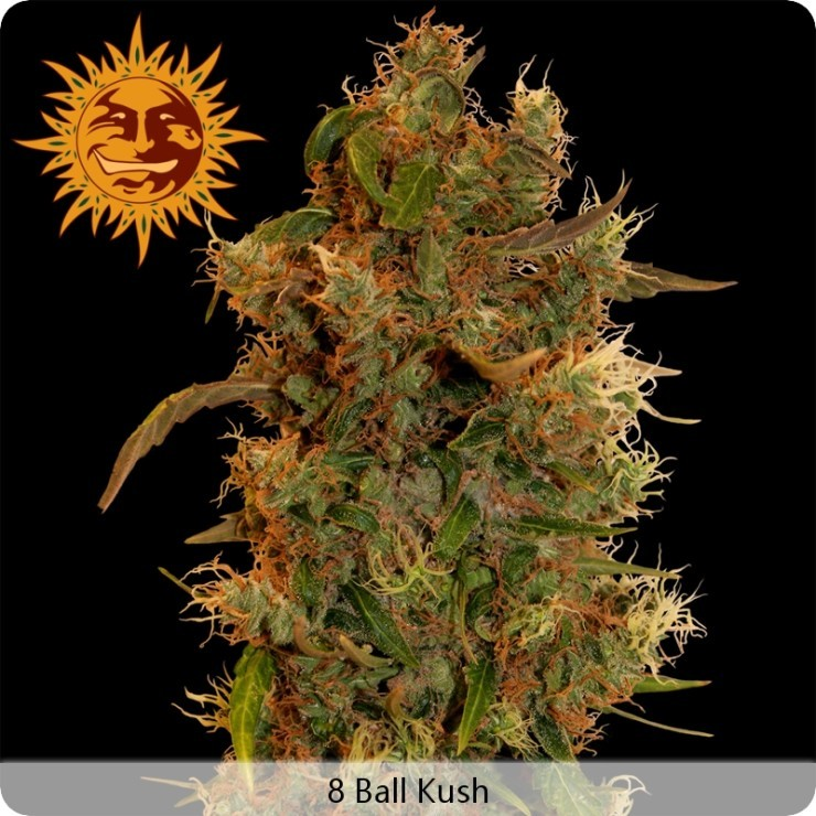 8 Ball Kush (Barney´s Farm Seeds) 1