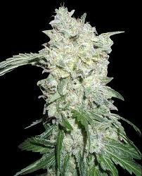 Afghan Kush Special (World of Seeds) Feminizada  0