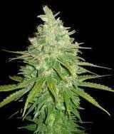 Semilla feminizada 100% Afghan Kush x Skunk (World of Seeds) Cannabis Medicinal. 0