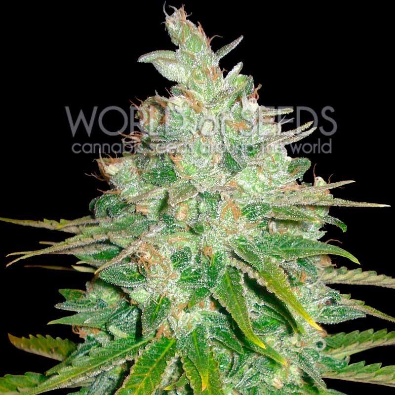 Afghan Kush x Black Dominan Feminizada World of Seeds 0
