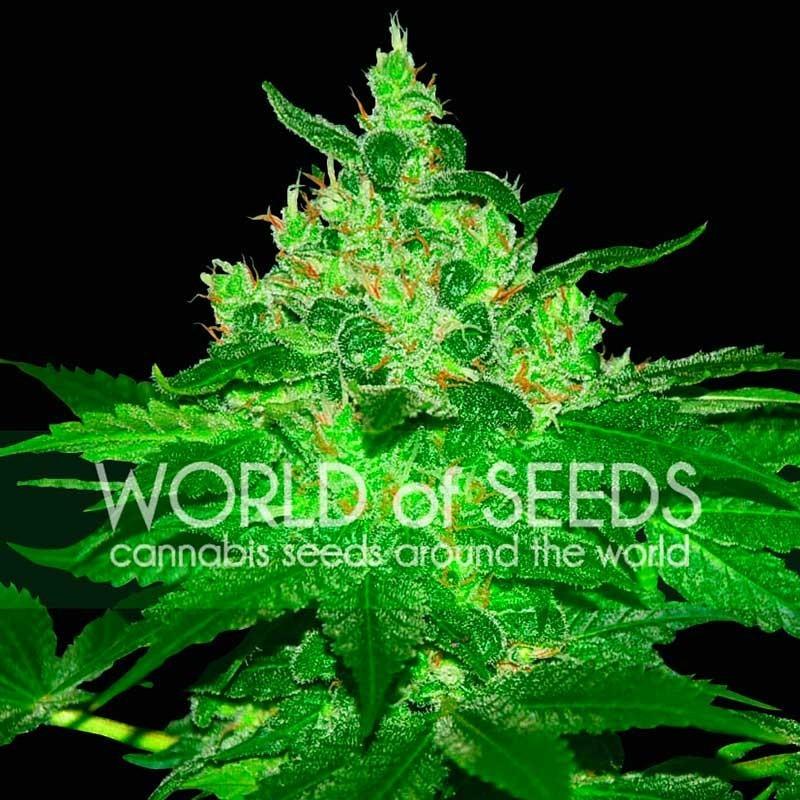 Afghan Kush Feminizada World Of Seeds Cannabis 0
