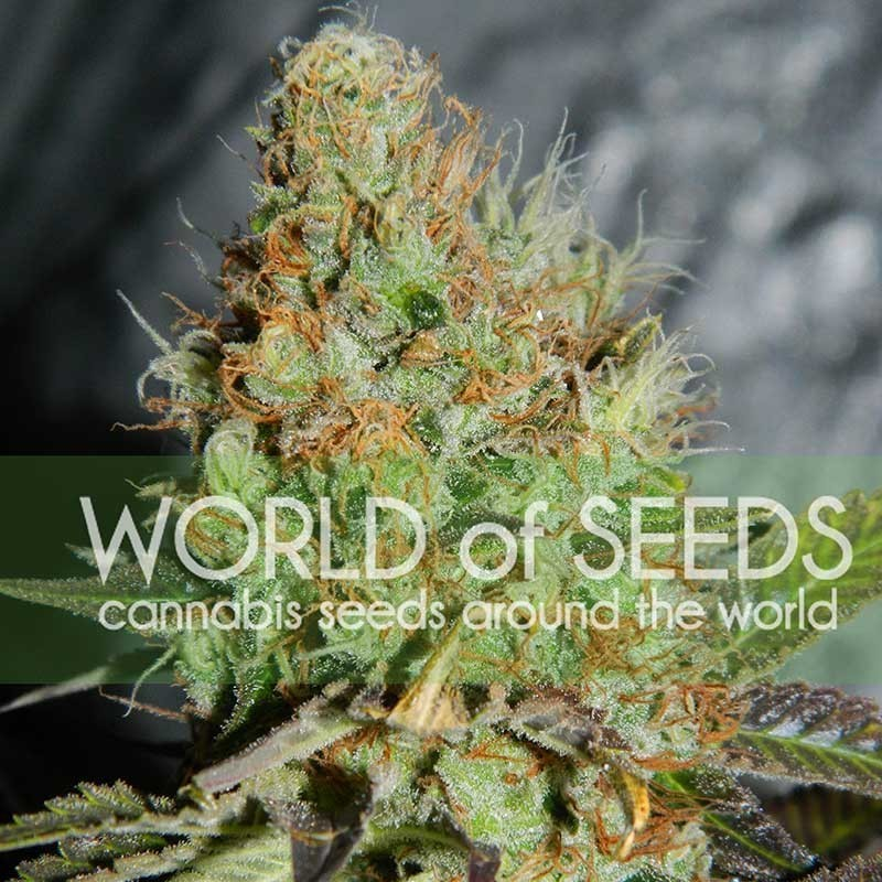 Afghan Kush Special (World of Seeds) Feminizada  1