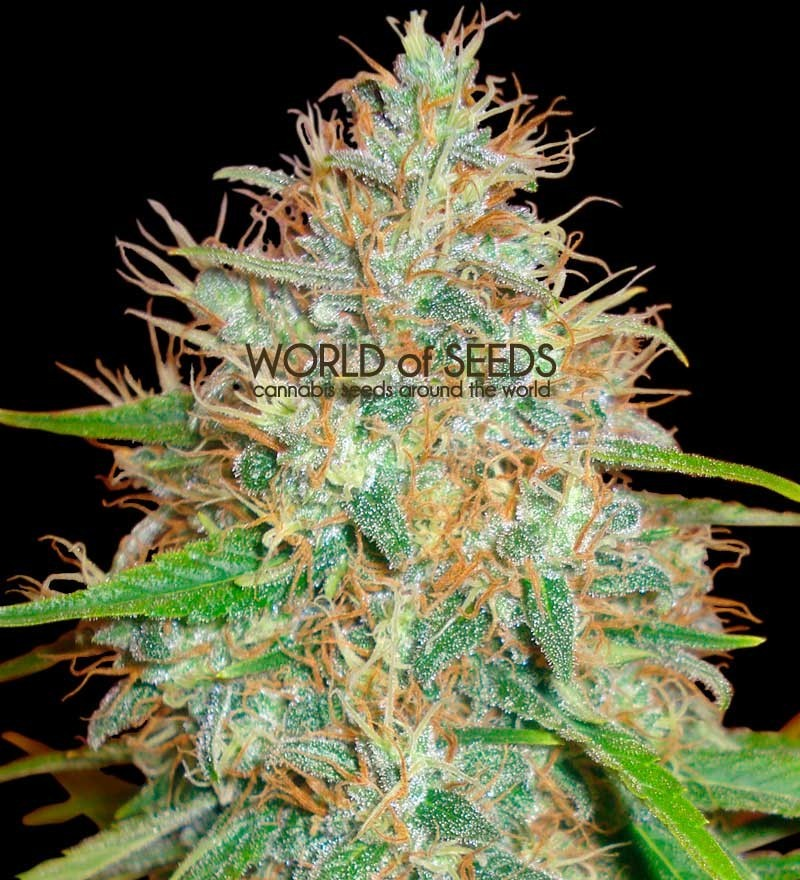 Semilla feminizada 100% Afghan Kush x Skunk (World of Seeds) Cannabis Medicinal. 1