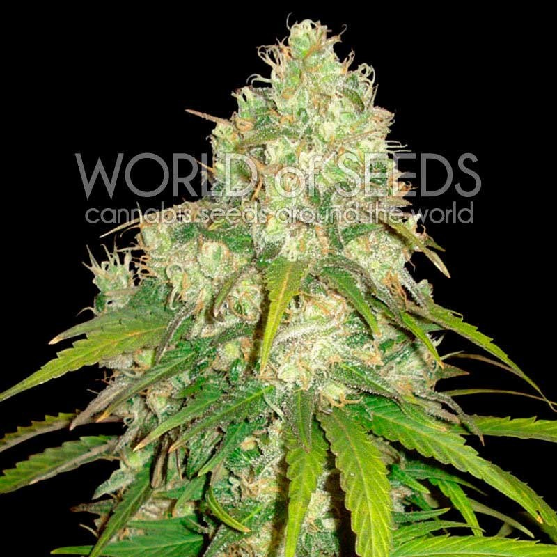 AFGHAN KUSH x YUMBOLT (WORLD OF SEEDS) MEDICAL COLLECTION 1