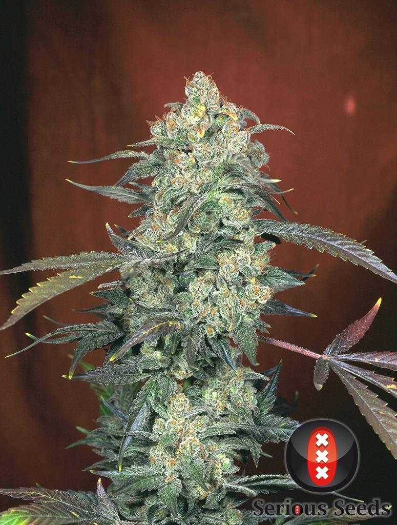 ak47 serious seeds cannabis 1