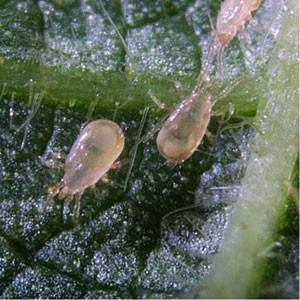 Lucha Biológica Amblyseius Californicus (Contra Araña Roja) en el Cultivo 0