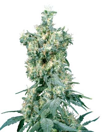 American Dream (Sensi Seeds) Semilla Regular Cannabis 0