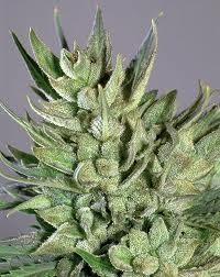 Amnesia Haze (Royal Queen) SEmilla Feminizada Cannabis aroma incienso. 0