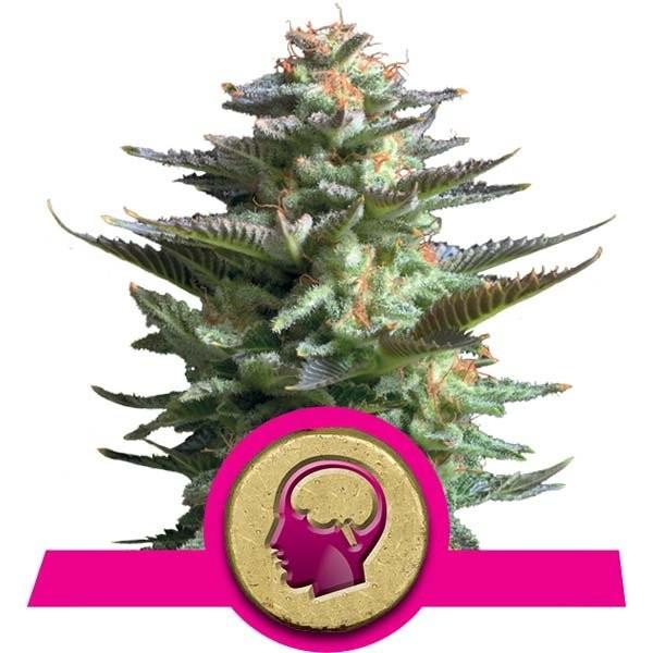 Amnesia Haze (Royal Queen) SEmilla Feminizada Cannabis aroma incienso. 1