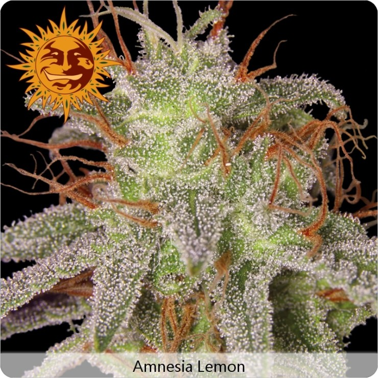 Amnesia Lemon (Barney´s Farm) 0