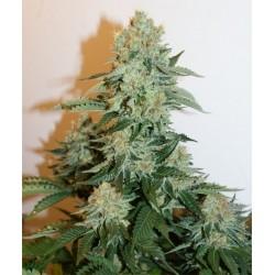Anesthesia (Pyramid Seeds) Feminizada Todas las Semillas Feminizadas de Pyramid Seeds disponibles en nuestros GrowShop PowerCogollo.com al mejor precio.  Anesthesia (Pyramid Seeds) Semilla de Cannabis-Marihuana Feminizada Anesthesia, mezcla de dos genétic 0