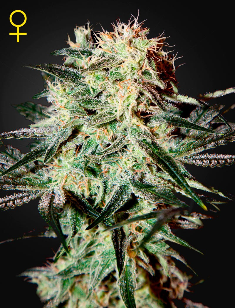 Arjan´s Strawberry Haze (Geen House Seeds) 0