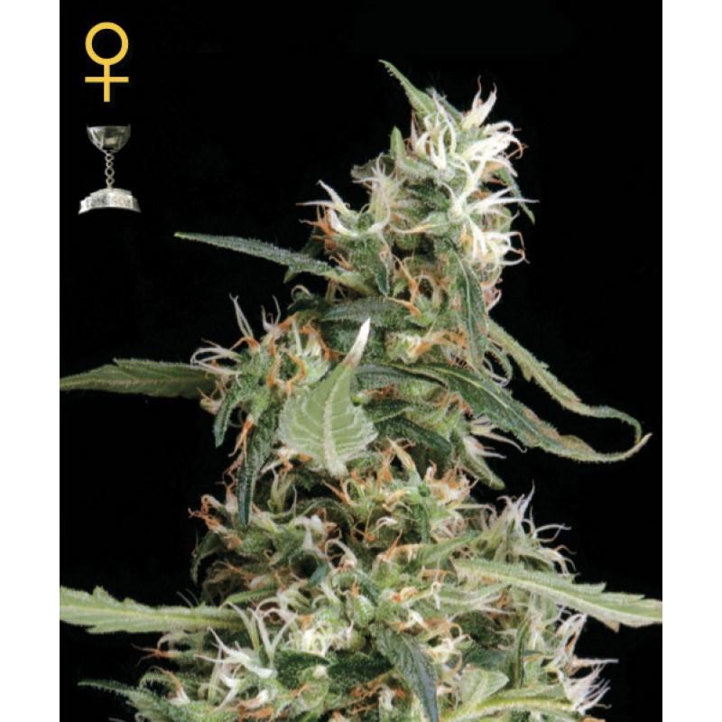 Arjans Ultra Haze #1 (Green House Seeds) 1