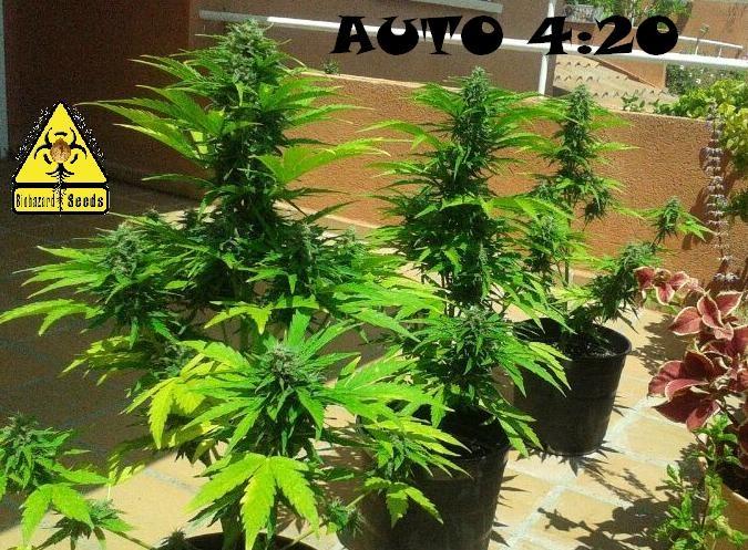 Auto 4:20 (Biohazard Seeds) 2