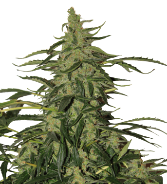 Auto Deimos Feminizada (Buddha Seeds) 3