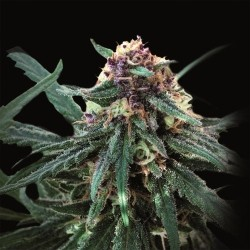 Auto Purple (Pyramid Seeds) 0