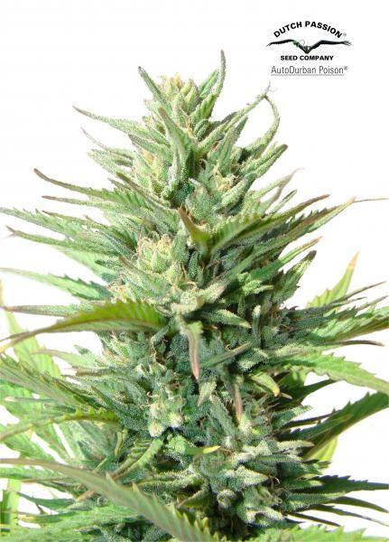 AutoDurban Poison (Dutch Passion) Semilla Autofloreciente Feminizada Cannabis 0
