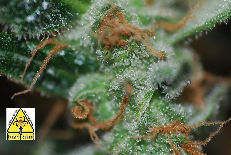 Auto Pack 6 Semillas (Biohazard Seeds) Feminizadas Cannabis-Marihuana Autofloración 1