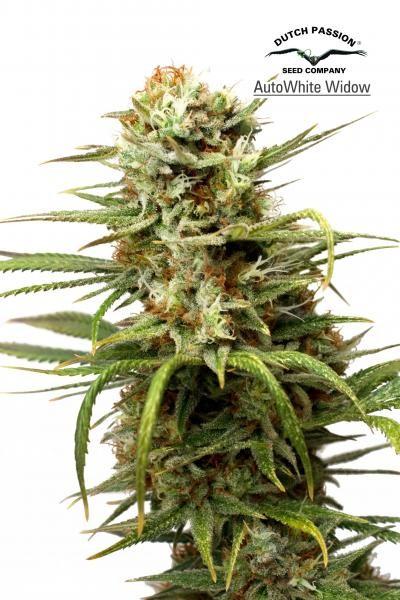 AutoWhite Widow (Dutch Passion) Semilla Autofloreciente Feminizada Cannabis 0