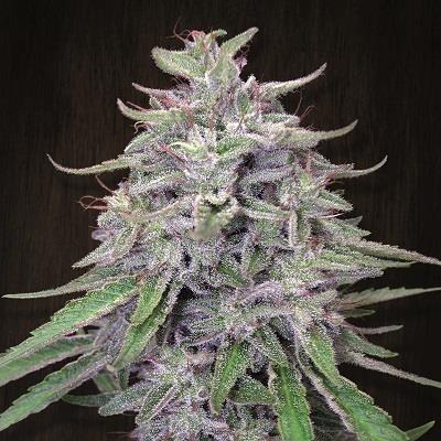 Bangi Haze (Ace Seeds) Semilla Regular 0