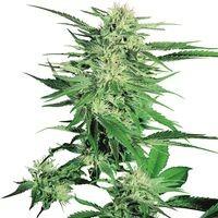 Big Bud Regular (Sensi Seeds) 0