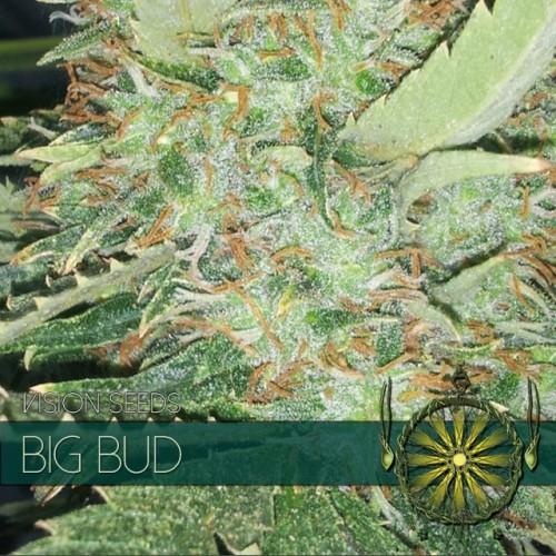 Big Bud semilla marihuana 2