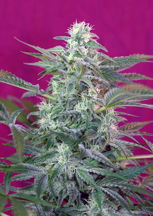 Big Foot (Sweet Seeds) Semilla feminizada marihuana cultivo interior-exterior 0