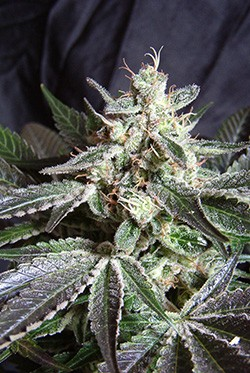 Black Jack (Sweet Seeds) Feminizada 1
