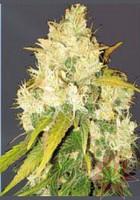 Semilla Feminizada Black Russian (Delicious Seeds) Cannbis 1