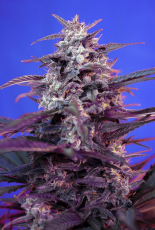 Bloody Skunk (The Red Family) Sweet Seeds Semillas Feminizada de Cannabis 0