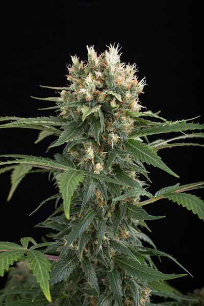 Blue Thai (Dinafem) Semilla Feminizada Cannabis 0