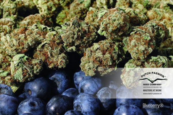 Blueberry Feminizada (Dutch Passion Seeds) 1