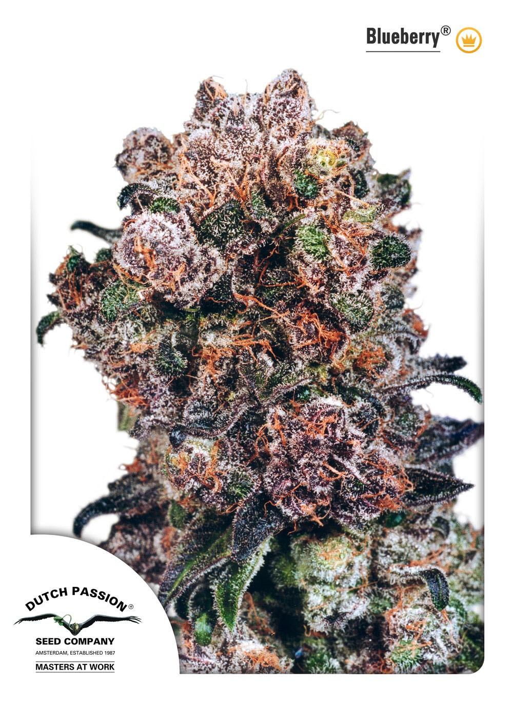 "Blueberry Regular (Dutch Passion Seeds)  Semilla de Cannabis Blueberry ® Interior / Exterior  1º premio ""Copa High Times"" 2000  3º premio ""Copa High Times"" 2001  Nuestra Original Blueberry es principalmente una variedad Indica (80% Indica, 20% Sativa), na 1"
