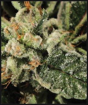 Bubba Kush (Green House Seeds) 1