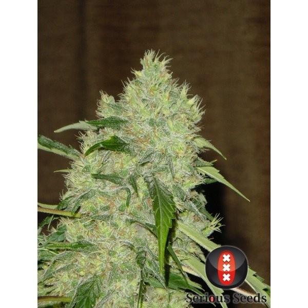 Bubble Gum Regular (Seious Seeds) 2