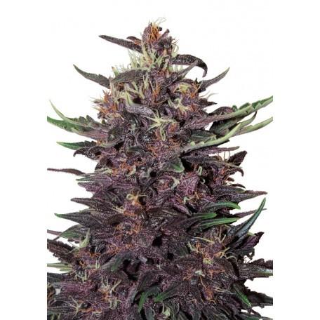 Buddha Purple Kush Auto (Buddha Seeds) 0