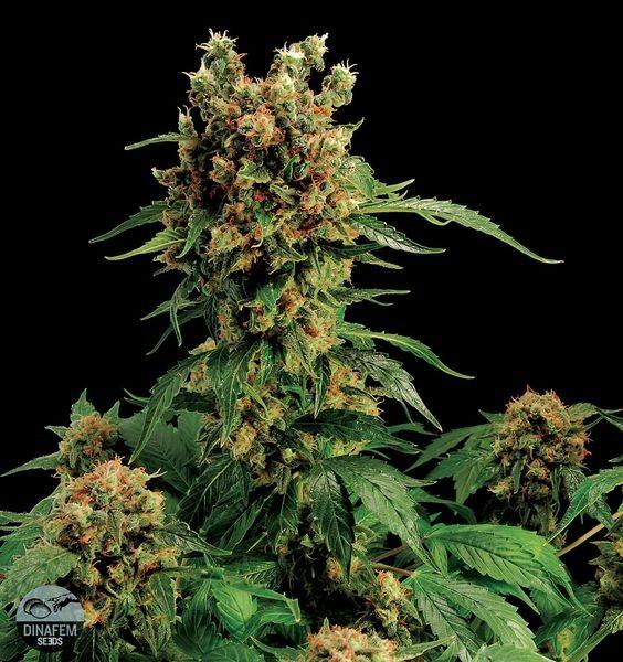 California Hash Plant (Dinafem) 0