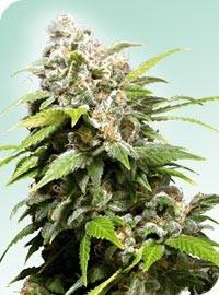 California Indica (Sensi Seeds) Regular 0