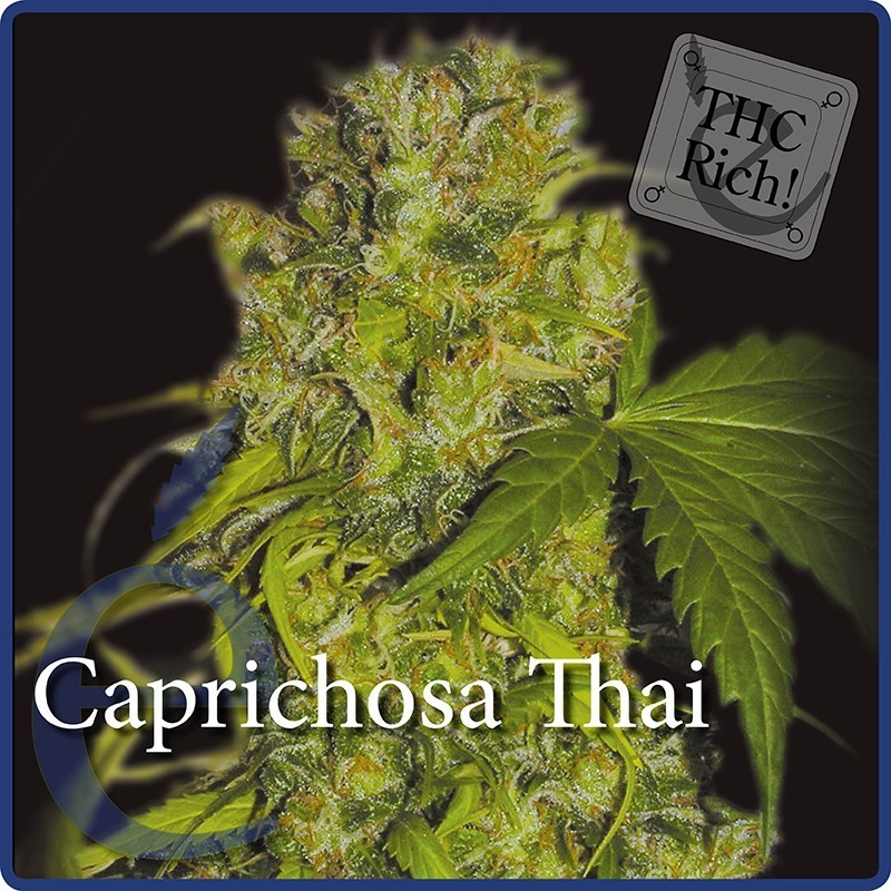 Caprichosa Thai (Elite Seeds) Semilla  1