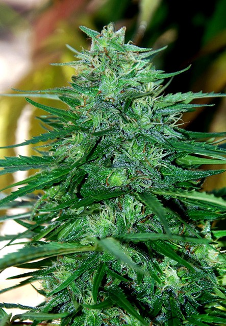 Caribe (Cannabiogen Seeds) Regular 2