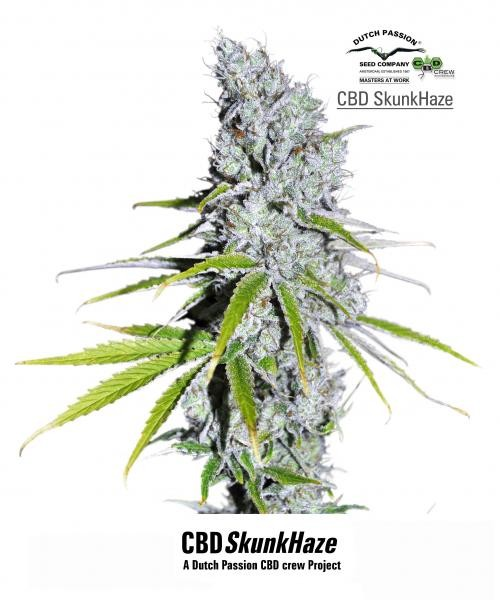 CBD Skunk Haze (Dutch Passion) Semilla Feminizada de Cannabis 0