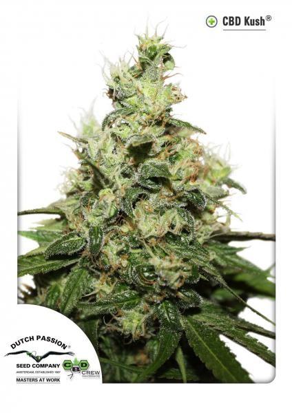 CBD Kush (Dutch Passion) Semilla Feminizada de Marihuana 2